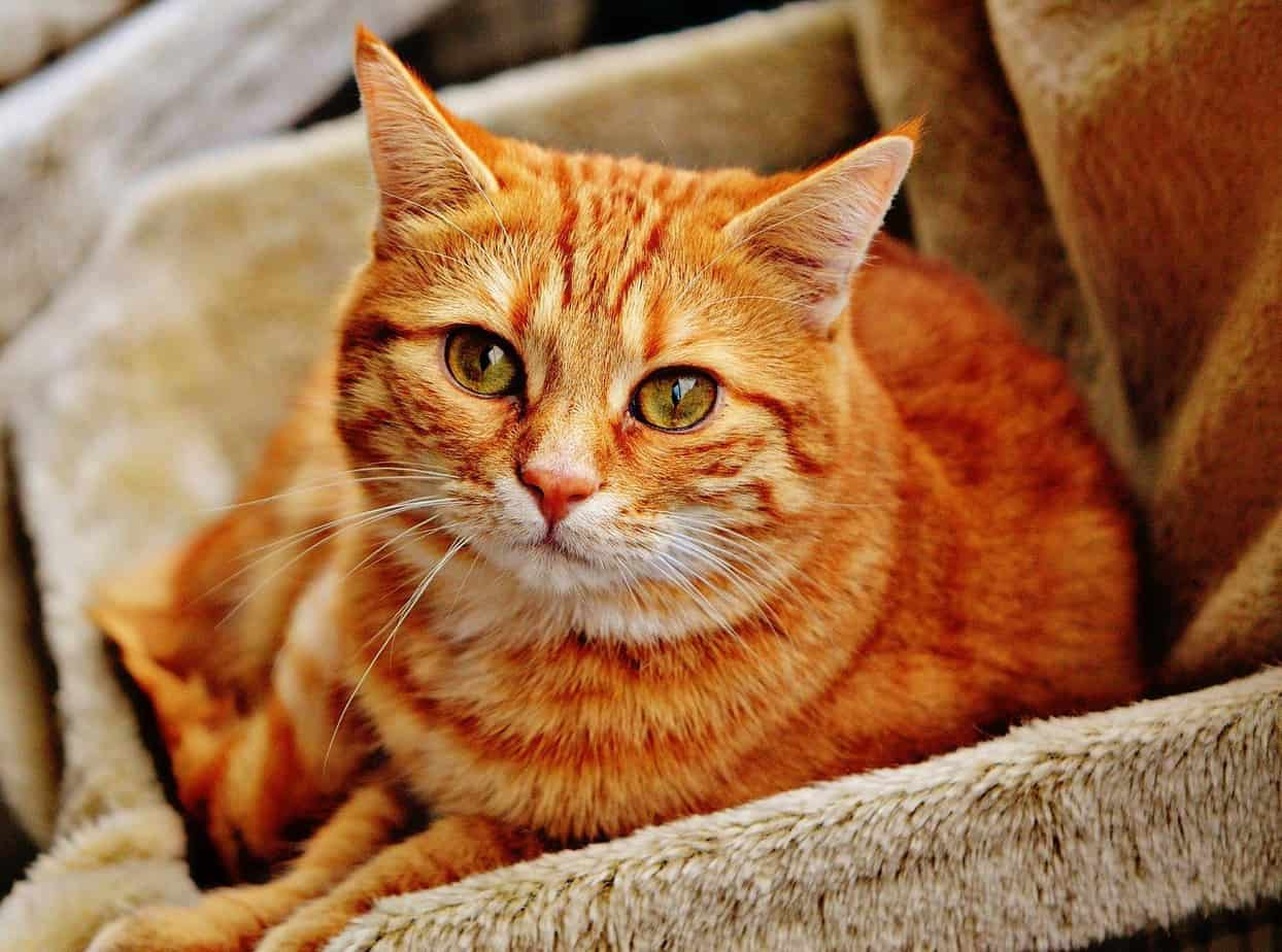9 Most Affectionate Cat Breeds