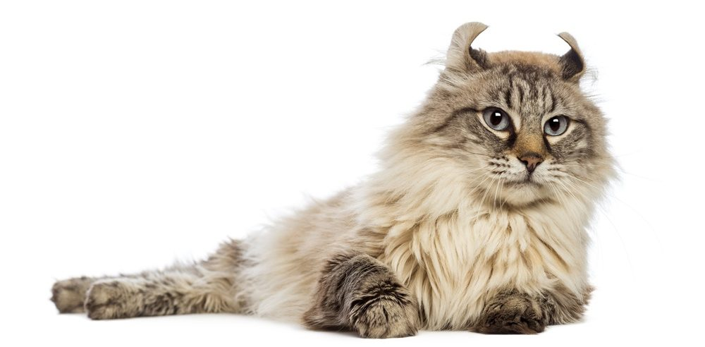 American Curl lying and looking away in front of white background