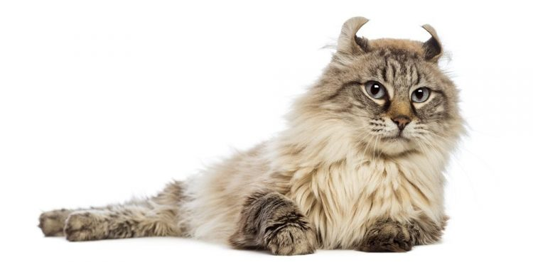 Miniature Cats – The 7 Smallest Cat Breeds
