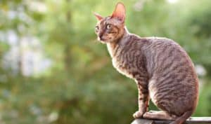 Read what feline experts and fanciers claim are the 9 most affectionate cat breeds.