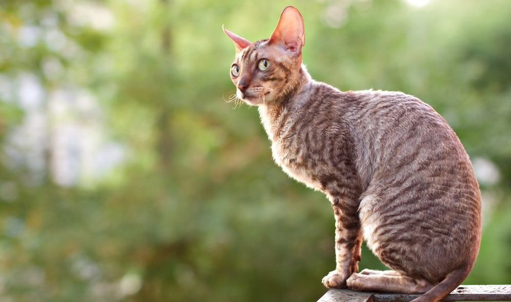 Cornish Rex sitting