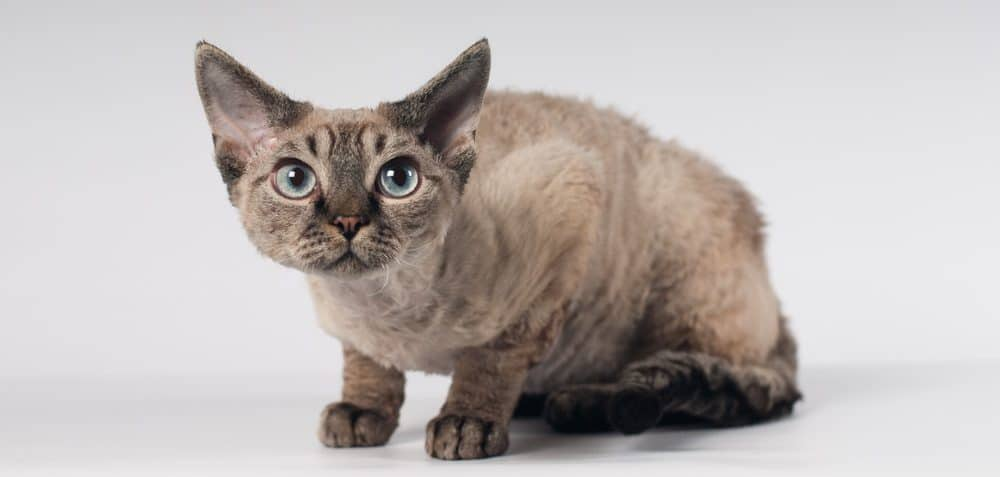 9 Most Affectionate Cat Breeds - Devon Rex