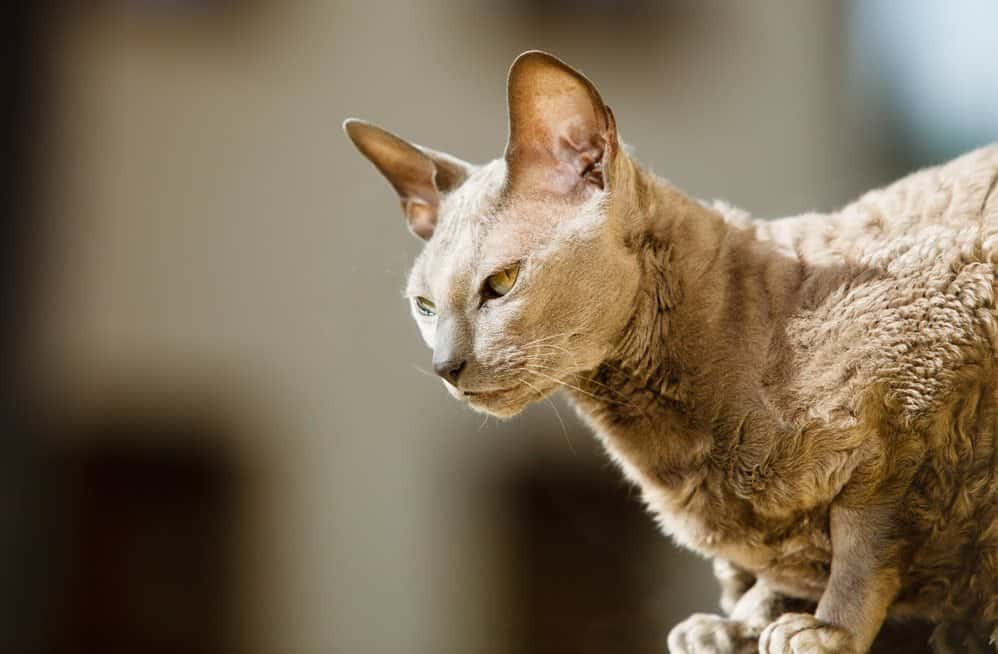 9 Most Affectionate Cat Breeds - Egyptian Mau