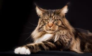 They say that bigger is better but when it comes to cats, bigger is not only better, it's beautiful! Find out what the 7 largest cat breeds are like.