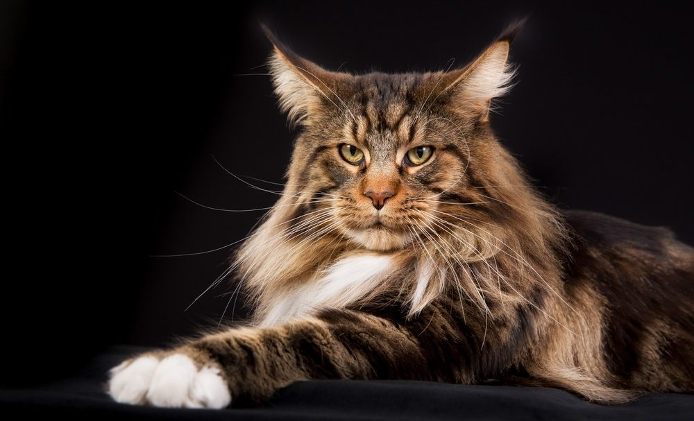 9 Most Affectionate Cat Breeds - Maine Coon