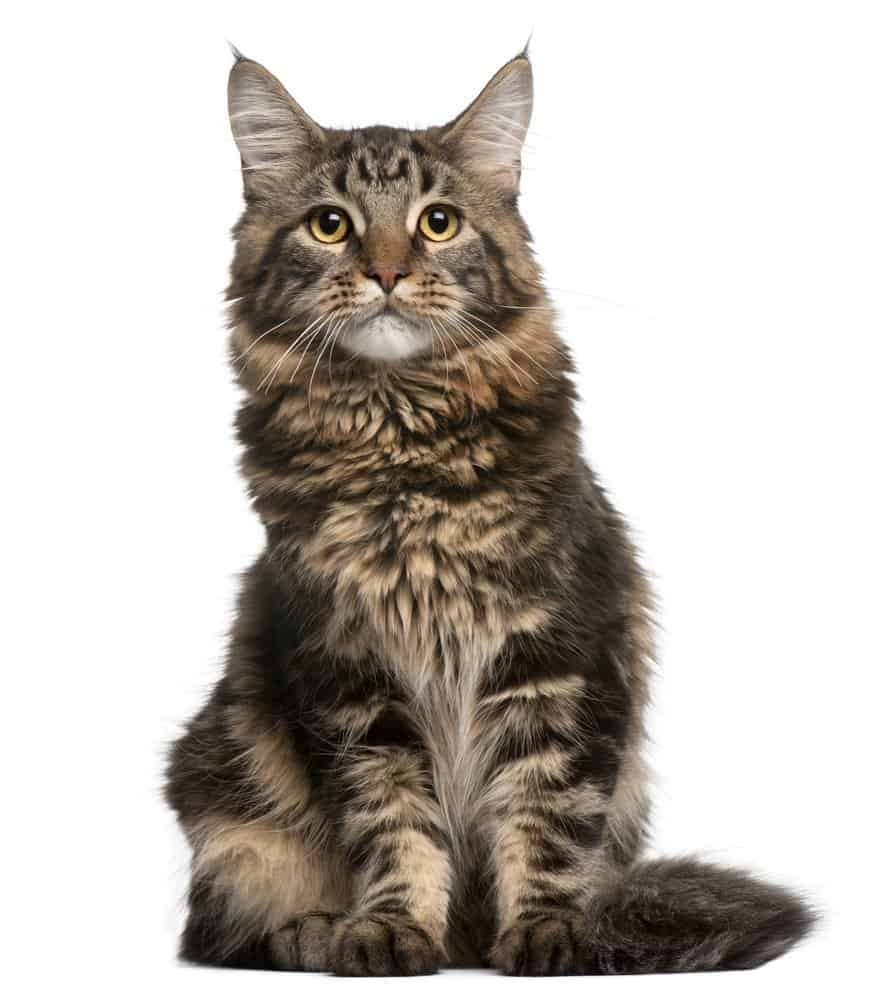Large Maine Coon