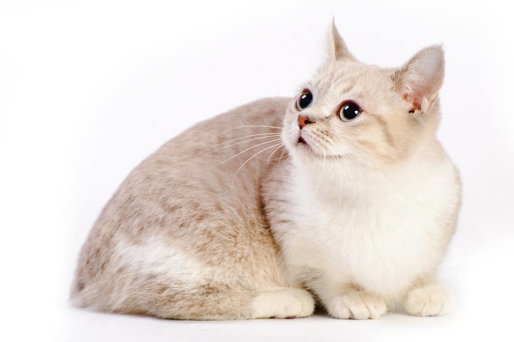 beautiful munchkin cat in studio on white background