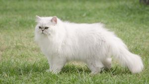 9 Most Affectionate Cat Breeds . Persian