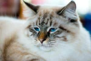 close-up portrait of blue-eyed Ragamuffin cat