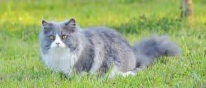 Ragdoll cat on a lawn