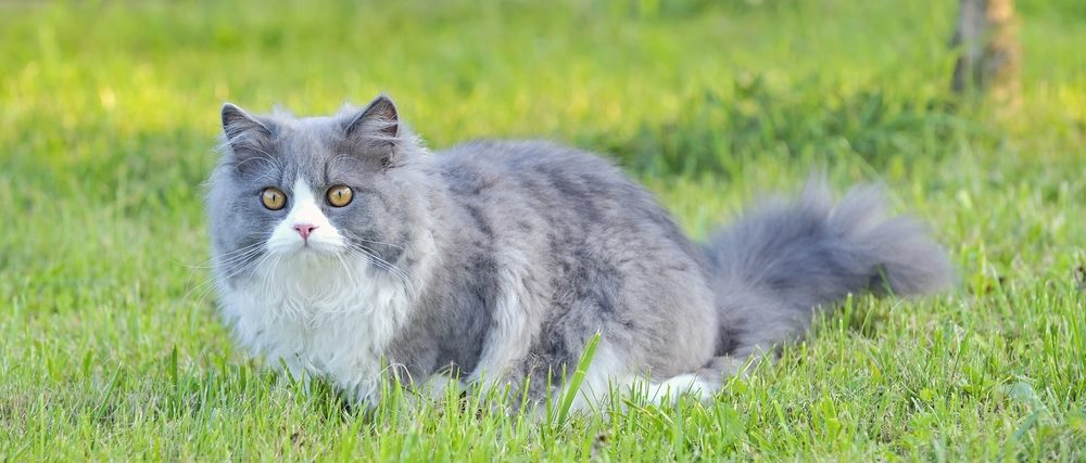Ragdoll cat on a lawn