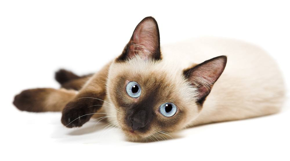 9 Most Affectionate Cat Breeds - Siamese