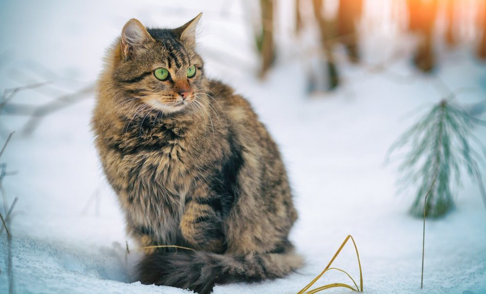 Siberian Cat in a Forest