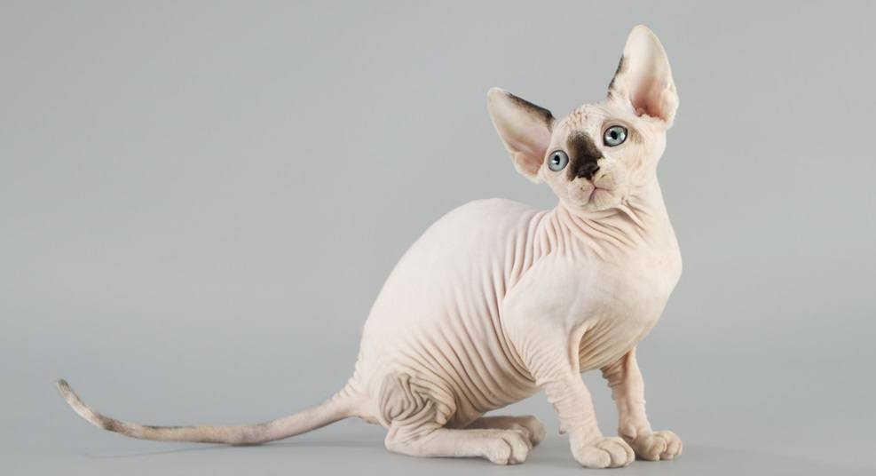9 Most Affectionate Cat Breeds - Sphynx