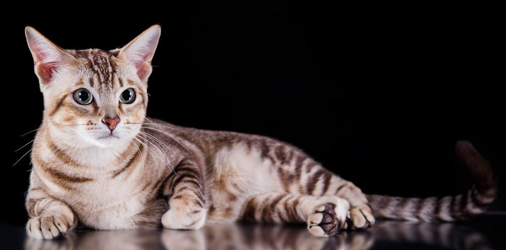 9 Most Affectionate Cat Breeds - Tonkiese Cat