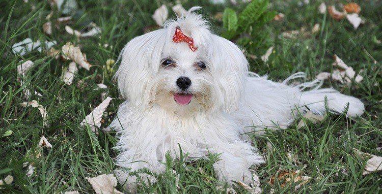 Maltese Dog Training Video