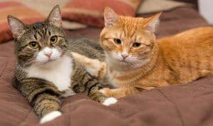 Want to have more than one feline friend? Read on to find helpful steps, tips and tricks to introducing your cat to a new cat.