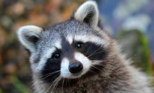 Check out these helpful tricks and hints on how to keep raccoons (and other wildlife) out of a cat food feeding station