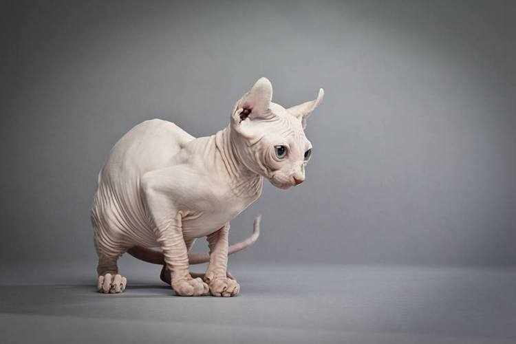 inquisitive hairless cat
