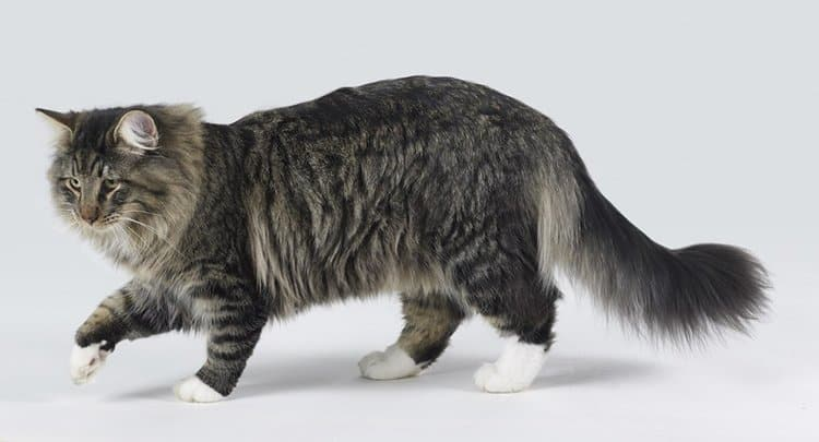 young Norwegian Forest Cat in light grey back
