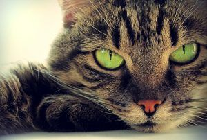 Find out how to check if a cat has been spayed