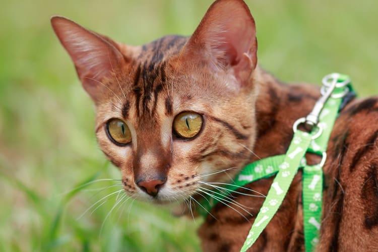 Découvrez comment choisir le meilleur harnais pour chat pour votre félin et nos critiques des meilleures options sur le marché.