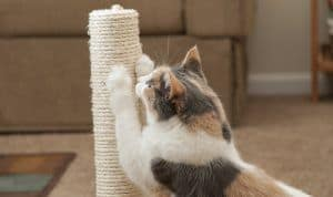 Learn how to teach your cat to use a scratching post.