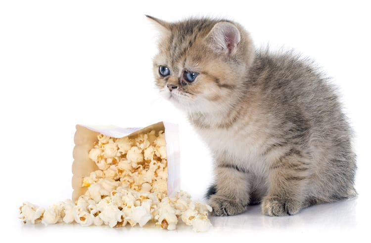 Ever wondered if popcorn harmful to your cat? Read our article to find out…