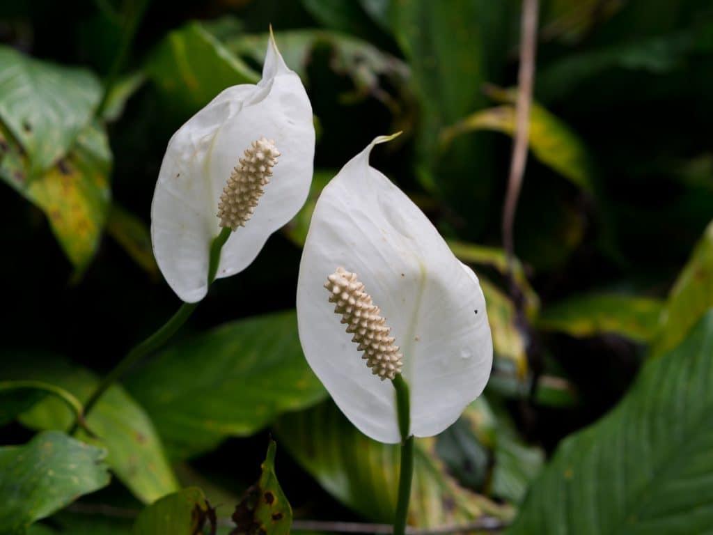 Mauna Loa Peace Lily