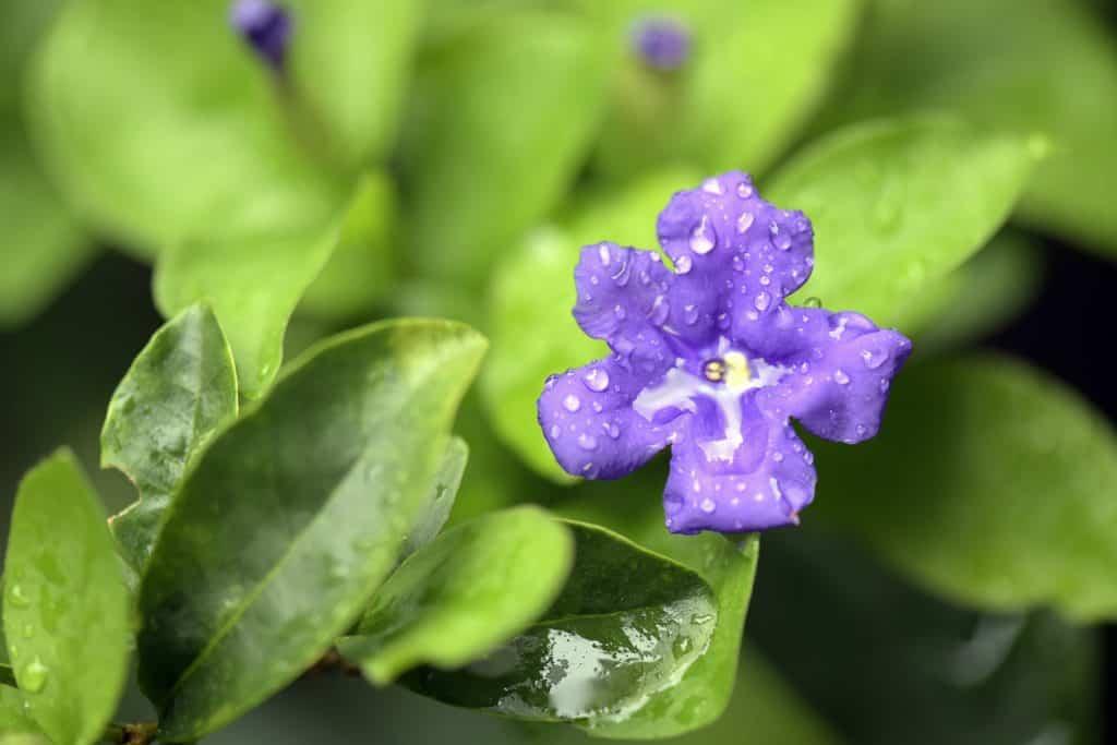 Brunfelsia species