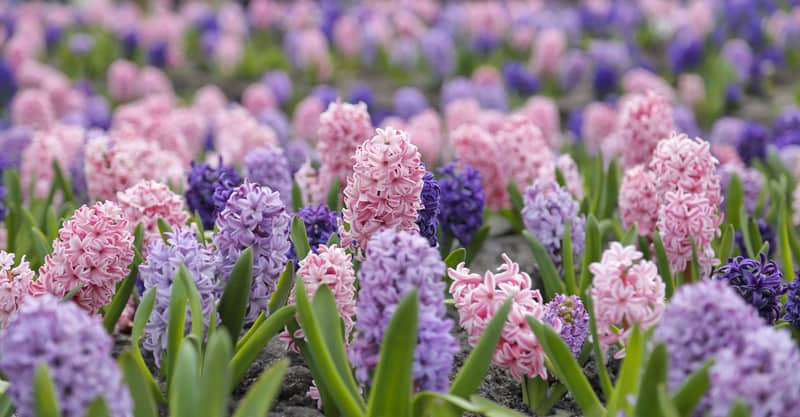 Is Hyacinth Poisonous To Cats And Dogs