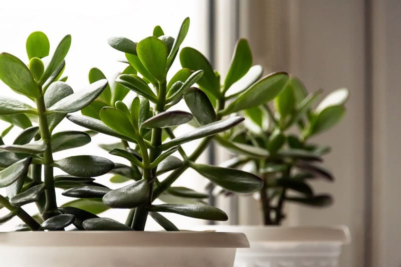 Is Jade Plant Poisonous to Cats and Dogs?