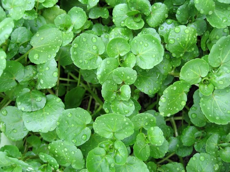 Nasturtium (Watercress)