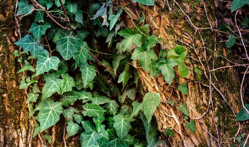 Needlepoint Ivy