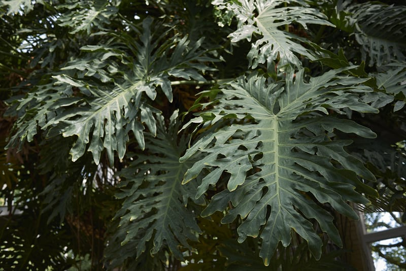 Lacy Tree Philodendron