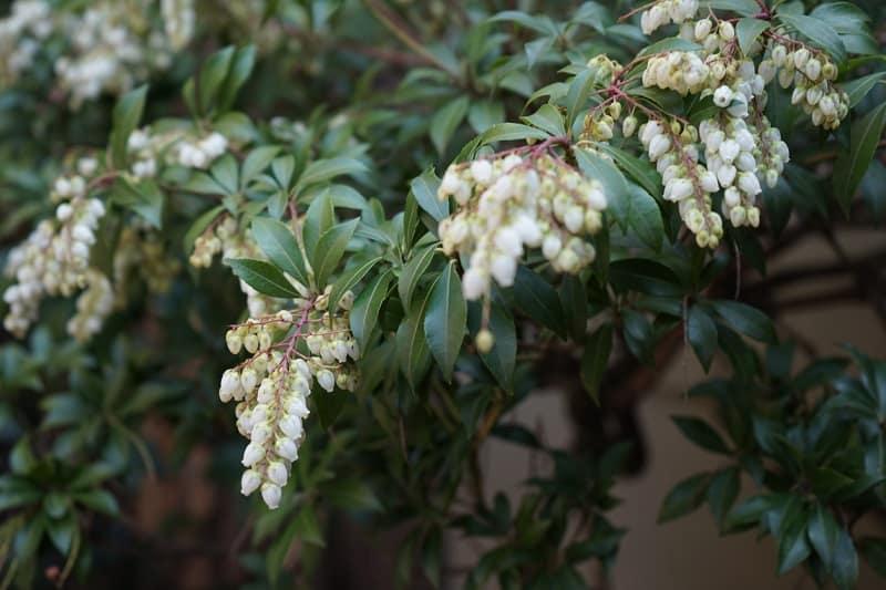 Andromeda Japonica Plant