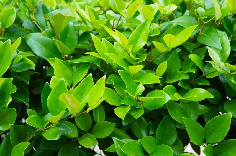 Wax-Leaf