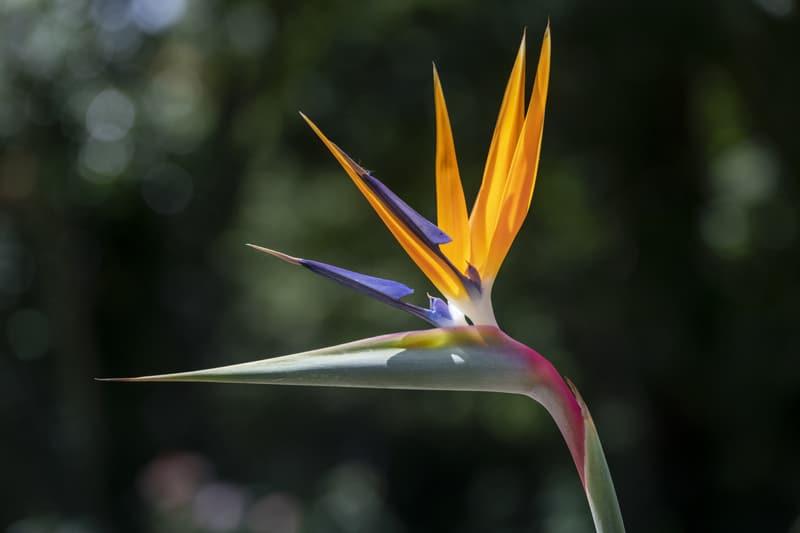 Bird's Tongue Flower