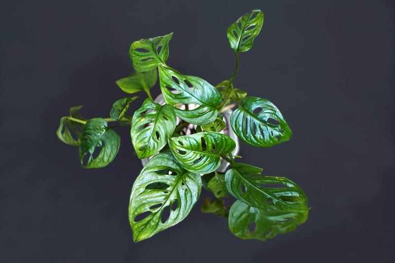 Hurricane Plant