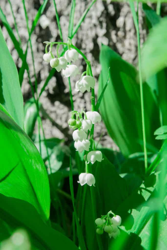 Lily-of-the-Valley Bush