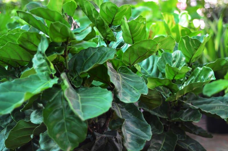 Fiddle-Leaf