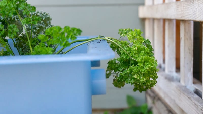 Spring Parsley