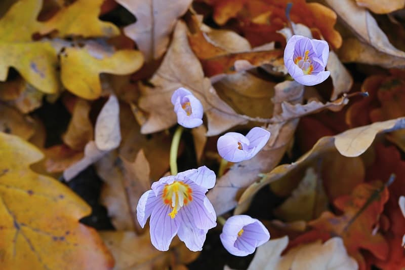 Autumn Crocus Plant