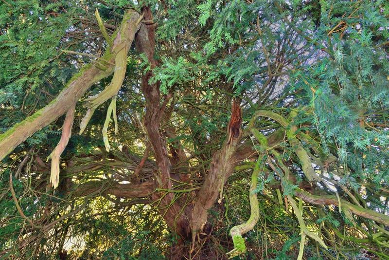 Western Yew