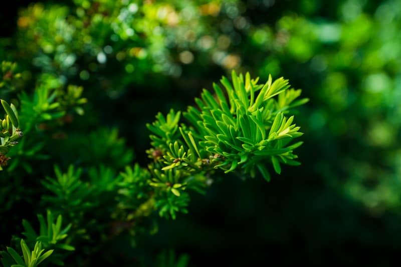 Yew Pine