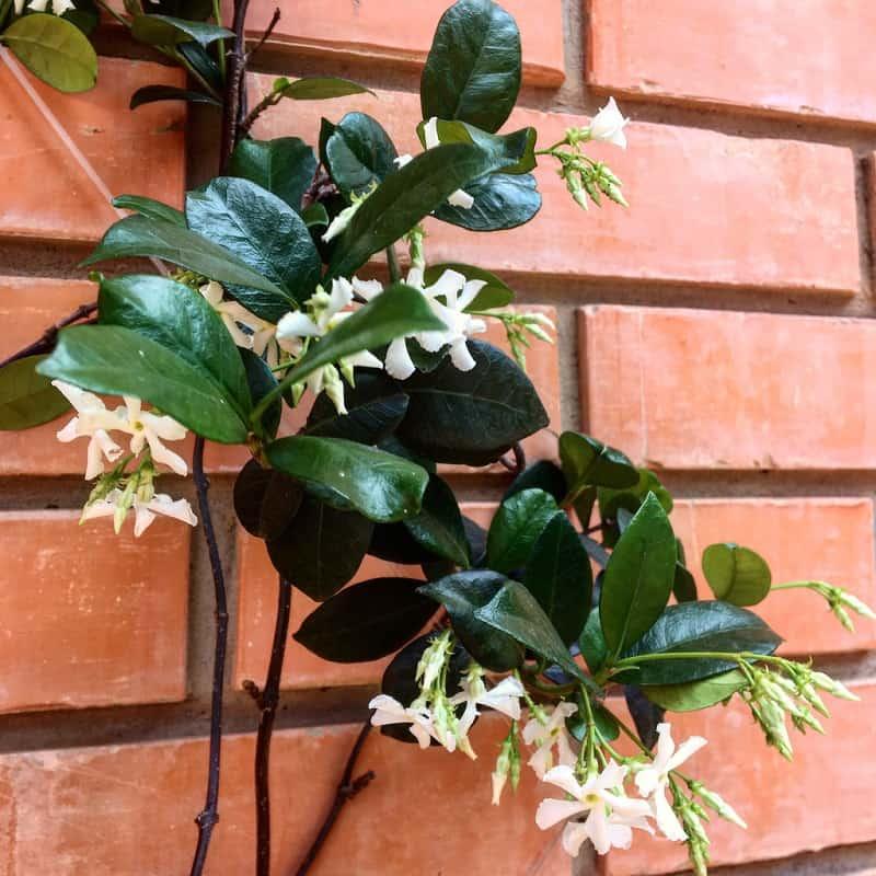Paraguayan Jasmine
