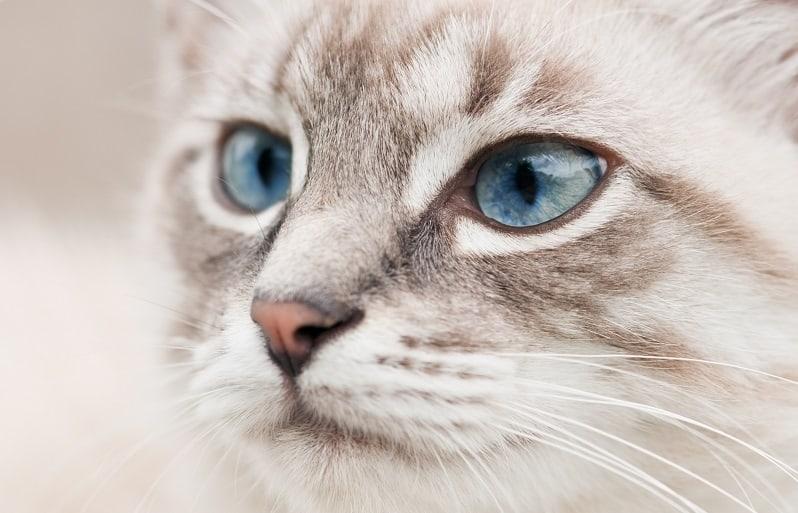 Cat Has Hair on Eye