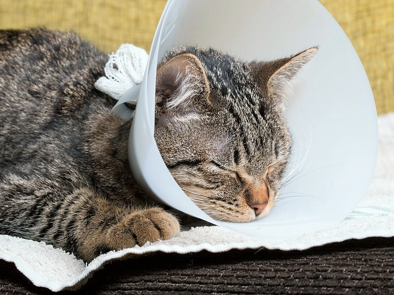 Cat Not Eating After Surgery