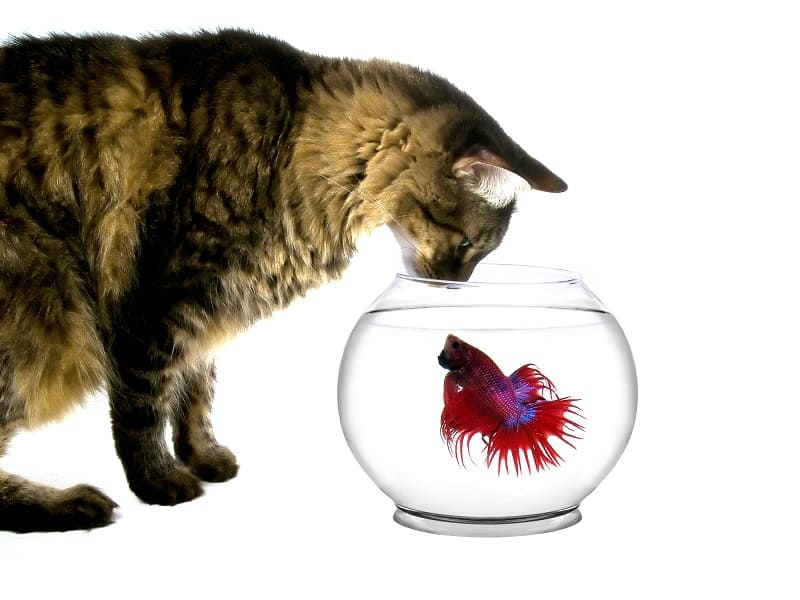 Are Betta Fish Poisonous to Cats