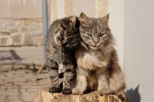 How To Tell If Cats Are Bonded